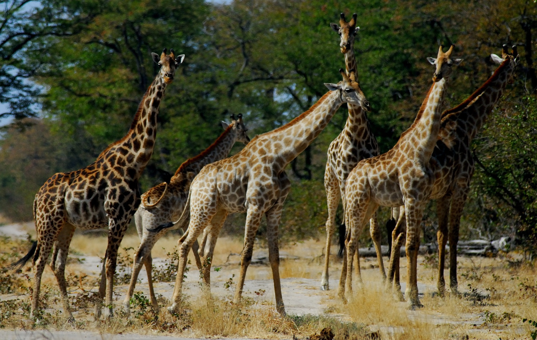 Afrique - Kalahari - girafes