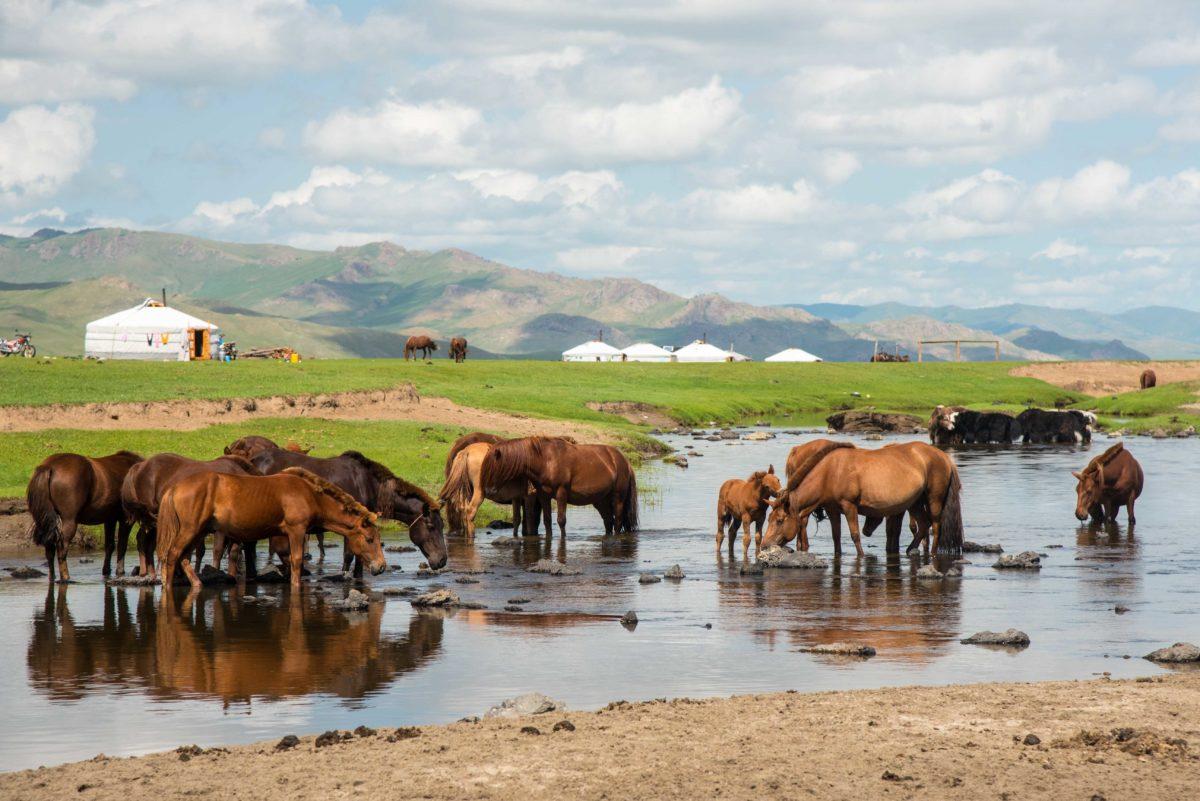 Mongolie - vallée de l'Orkhon, chevaux dans la rivière Orkhon