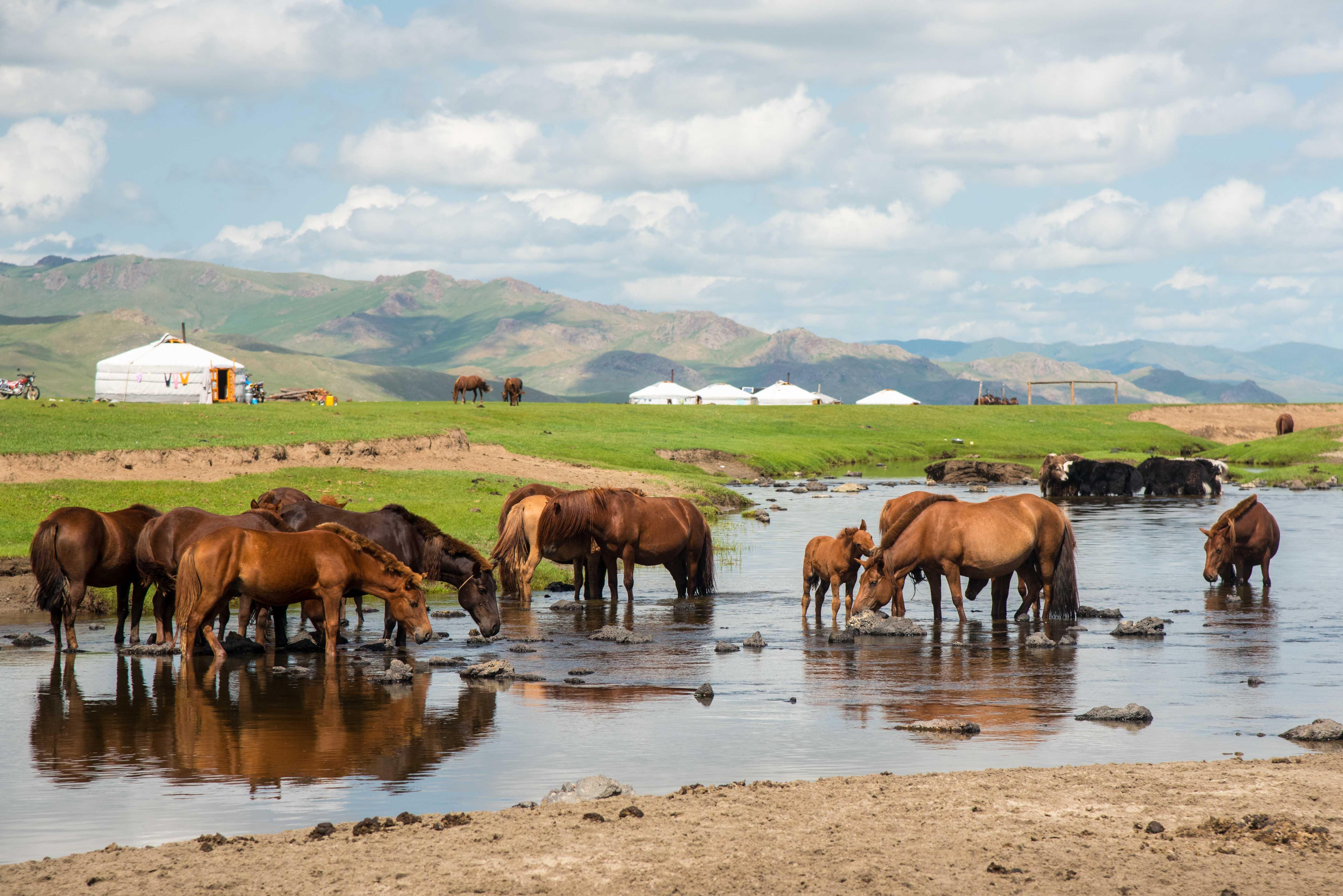 Mongolie-vallée de l'orkhon-cheveaux