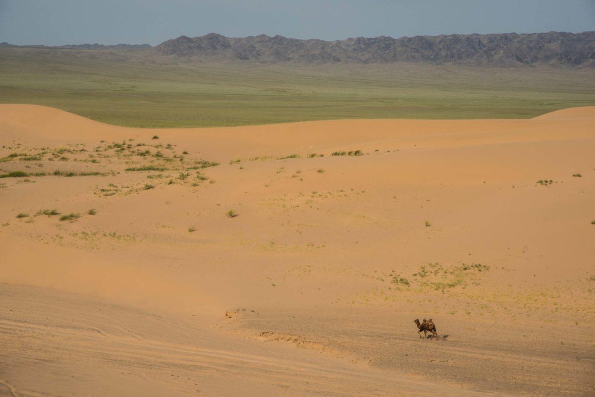 Mongolie - le Gobi, chameau égaré dans les dunes