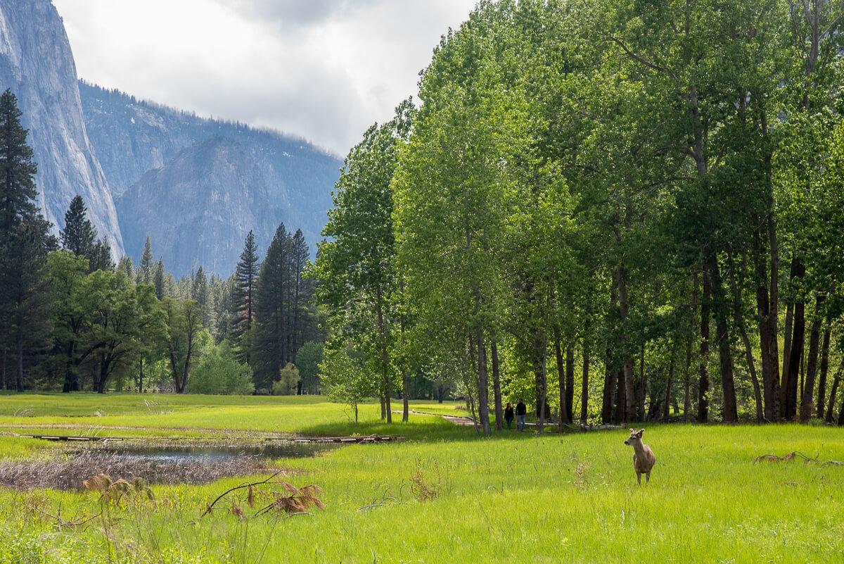 Yosemite Valley - cerf mulet