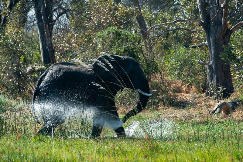 Afrique australe, Botswana - Démonstration du bain de l'éléphant dans le delta de l'Okavango