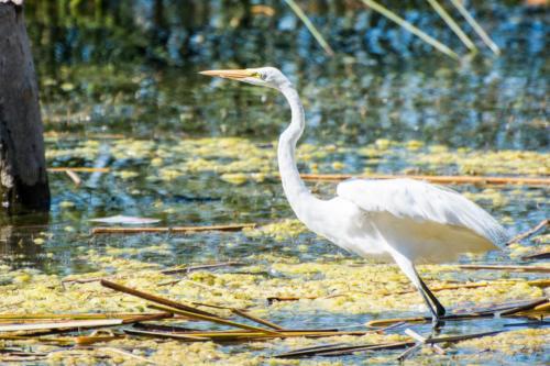 Héron blanc du lac Atitlan