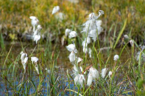 Mercantour, Saint-Dalmas-le Selvage -Linaigrette à feuilles étroites