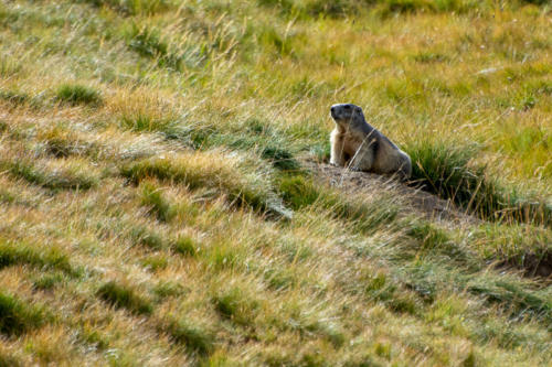 Mercantour, Saint-Dalmas-le Selvage - marmotte des alpes