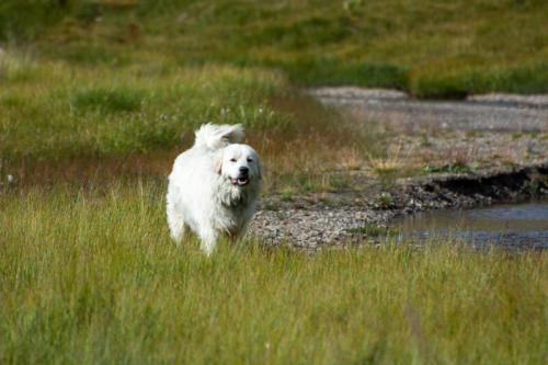 Mercantour, Saint-Dalmas-le Selvage - patou, chien de berger