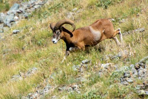 Mercantour, lacs de Vens - Mouflon